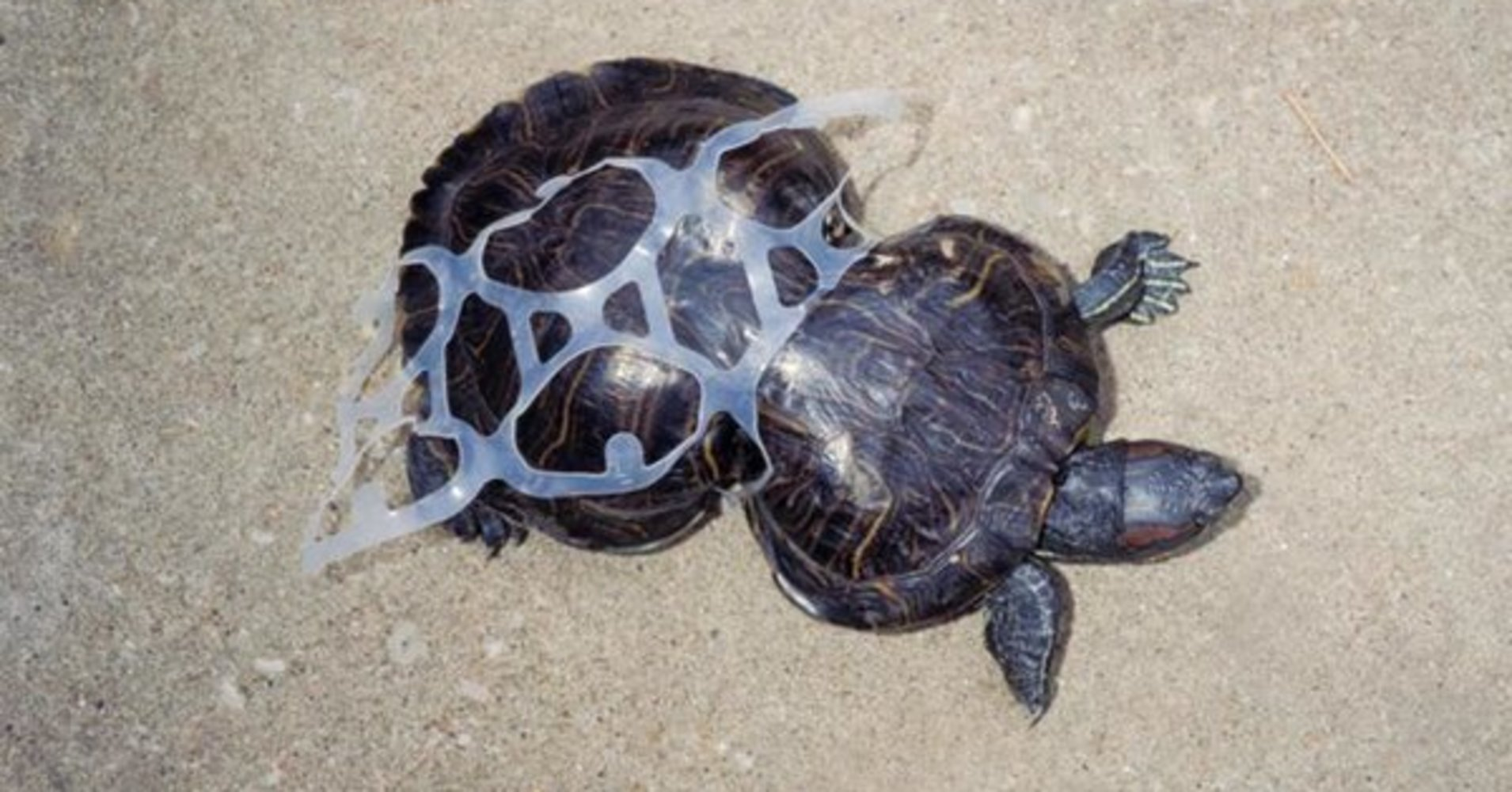 Turtle wrapped in can plastic.